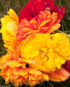 Peony flowering tulips - bright sunny colors