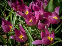 Tulip humulis 'Persian Pearl' - tiny magenta flowers with a bright yellow center-lovely with dwarf daffodils