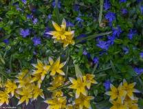 Tulip Dasystemon 'Tarda' two-toned yellow - fabulous growing through myrtle