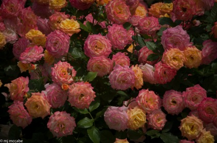 Garden Delight - Luscious multilayered in a range of yellow, pink and amber colors this shrub rose makes an impressive statement in the summer garden
