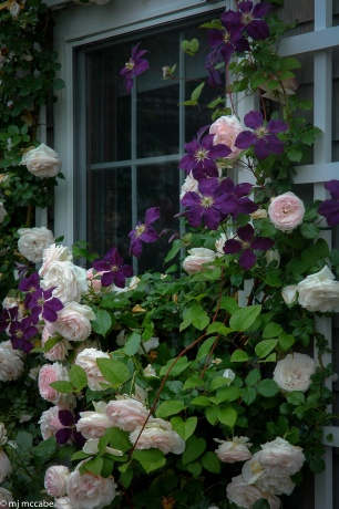 Eden Climbing Rose with The President clematis on a trellis — a beautiful backdrop to a cottage garden