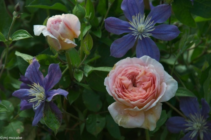Gertrude Jekyll — Bright pink with deep old rose fragrance-beautifully enhanced by a Wedgewood blue clematis — and combination that makes your garden composition come alive
