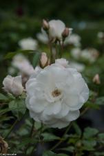 Iceberg — Audrey Hepburn's favorite rose — classic elegance that keeps on blooming