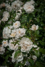 Lion's Fairy Tale Rose — soft ivory blooms growing 3-4' — resistant to black spot and mildew — English Rose of the year for 2006