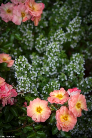 Drift Rose Peach — a low growing variety that blends well in a home garden in tones of peach and apricot — a lovely weaver when blended with other perennials like white frothy calaminta