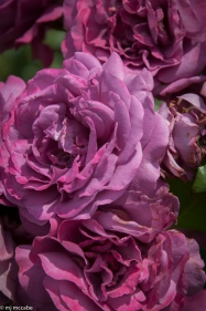 Plum Perfect — This 3' high rose keeps its deep plum color especially wonderful with paired with almost anything yellow — good disease resistance