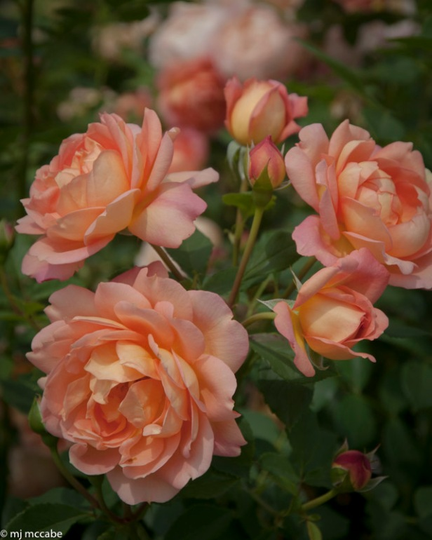 Lady of Shallot — Climbing rose — a deep apricot color with amazing fragrance