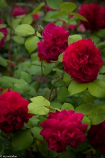 Tess of the D'Urbervilles — a velvety crimson climbing rose that makes a dramatic statement