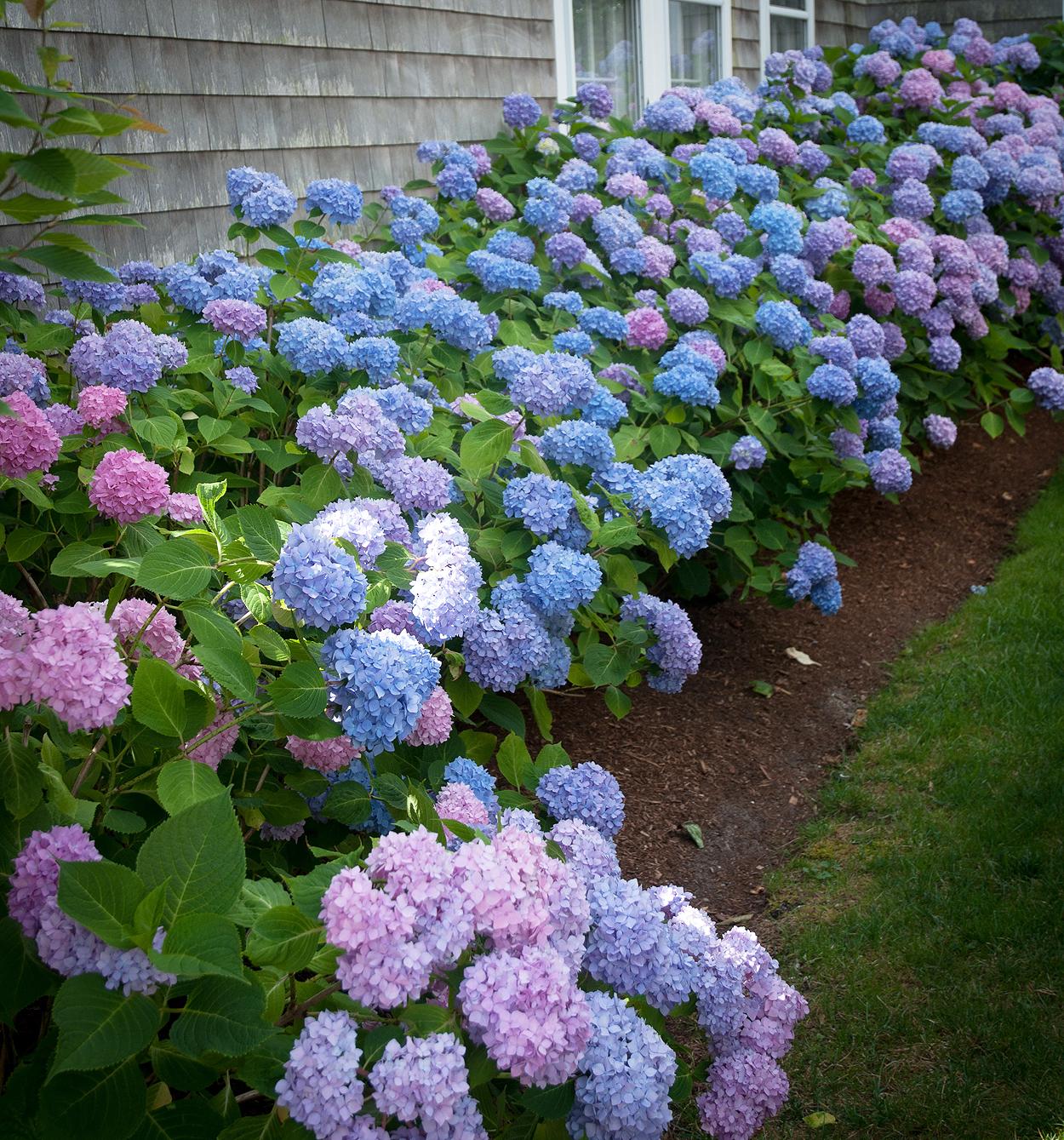 Welcome Vibrant Hydrangeas Mj Mccabe Garden Design