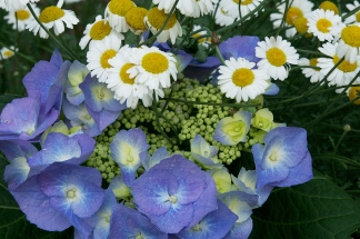 Hydrangea 'Tellers Blue' dances well with pure white daisies.