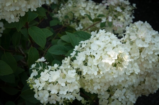 My new favorite for August and September gardens — Hydrangea paniculata 'Bobo' — pure white repeat bloomer — growing to about 4' high — a real dazzler for your garden.