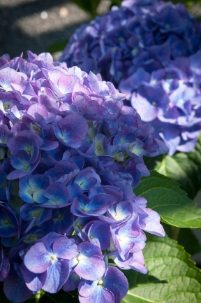 Cityline 'Rio' — Diminutive in size but packing a powerful cobalt blue flower that turns a soft purple as it fades.