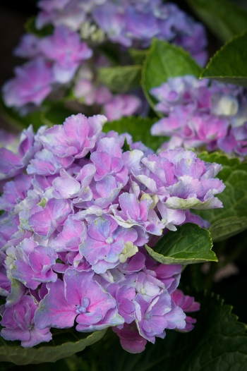 Hydrangea 'Everlasting Amethyst' — deep layers of mauve to deep purple — repeat blooming and compact growing.
