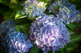Hydrangea 'Everlasting Revolution' — compact growing — a kaleidoscope of ever-changing colors — a good rebloomer.