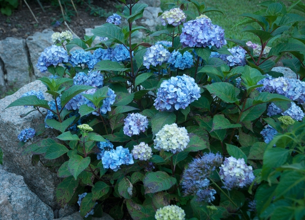 Hydrangea 'Bloomstruck' — a long bloomer that grows to about 4' — reblooms nicely into Autumn.