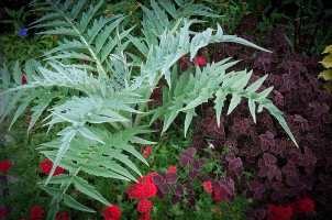 Cynara Cardunculus — Cardoon, I always use this wonderful silver plant to add depth and a strong architectural feeling to the late summer garden