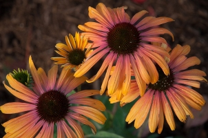 Echinacea — Coneflower, many colors to choose from, bright, bold and long blooming