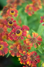 Helenium — Helen's Flower, rust colored with touches of yellow making a strong statement especially with ornamental grasses