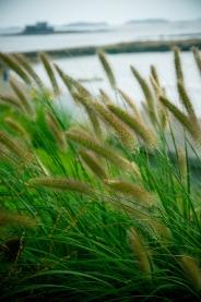 Pennisetum 'Hamlin' — billowy fountain grass, totally drought tolerant-