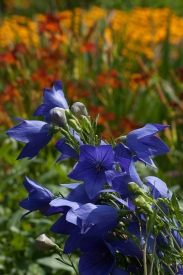 Platycodon — common name ballonflower, great with daylilies