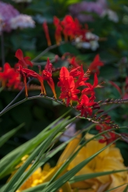 Red Hot Crocosmia — hummingbirds will flock to this plant like crazy