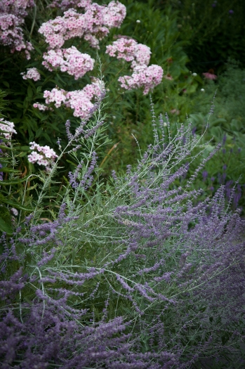 Russian Sage and Phlox — two unbeatable combinations that offer a soothing and calming effect to your garden