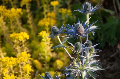 Sea Holly and Yellow Sedum — totally drought tolerant and carefree-wonderful complementary colors too