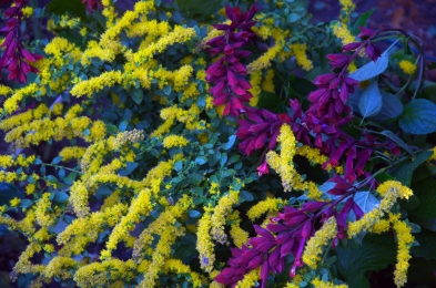 Bright Yellow Solidago and Salvia Van Houtii 'Paul' — draws both butterflies and hummingbirds