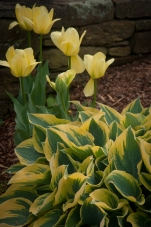 Color echoes of yellow in hosta and tulips