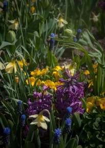 Hyacinths/Narcissus/Viola Sorbet yellow and grape hyacinths