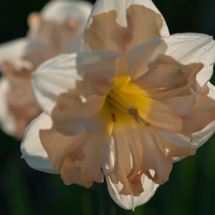 Unnamed daffodil