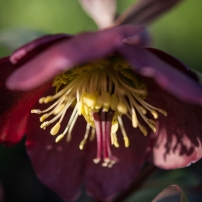 Hellebore orientalis, long blooming -takes deep shade