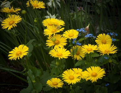 Doronicum -'Leopard's Bane', wonderful with blue Brunnera