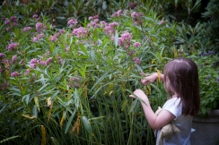 Create a backyard bug hunt --finding monarch caterpillars in a home planting of Milkweed