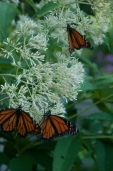 Monarchs will be drawn to your garden this summer by adding Joe Pye weed and Milkweed