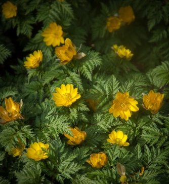 The absolute first to bloom, Adonis amurensis, is a lovely form of early buttercup.