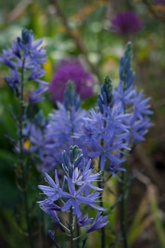 Camassia, a Native American bulb, takes center stage after daffodils and before tulip blooms.