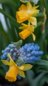 Late spring snows do not hinder the blooms of dwarf daffodils and grape hyacinths.