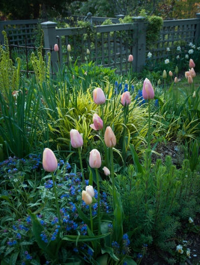 Pastel pink tulips emerge in a bed of pulmonaria, hakonechioa, and ferns.