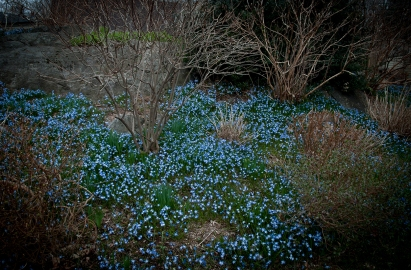 A sea of blue, chionodoxa magically spreads and multiplies in abundance every year.