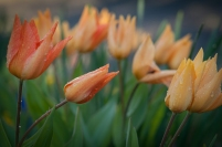 Shogun Tulip is an amber-toned beauty that evolves into many shades of apricot and yellow.