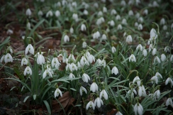 Snowdrops emerge right through snow to dazzle spring visitors.