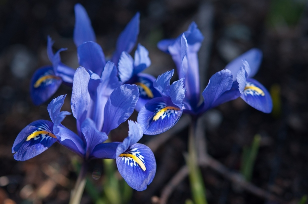 Tiny Iris reticulata glows in a vivid deep blue.